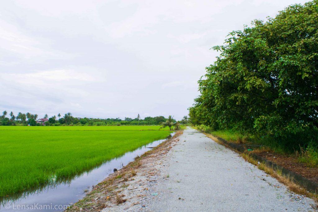 Kawasan sawah padi di Balik Pulau
