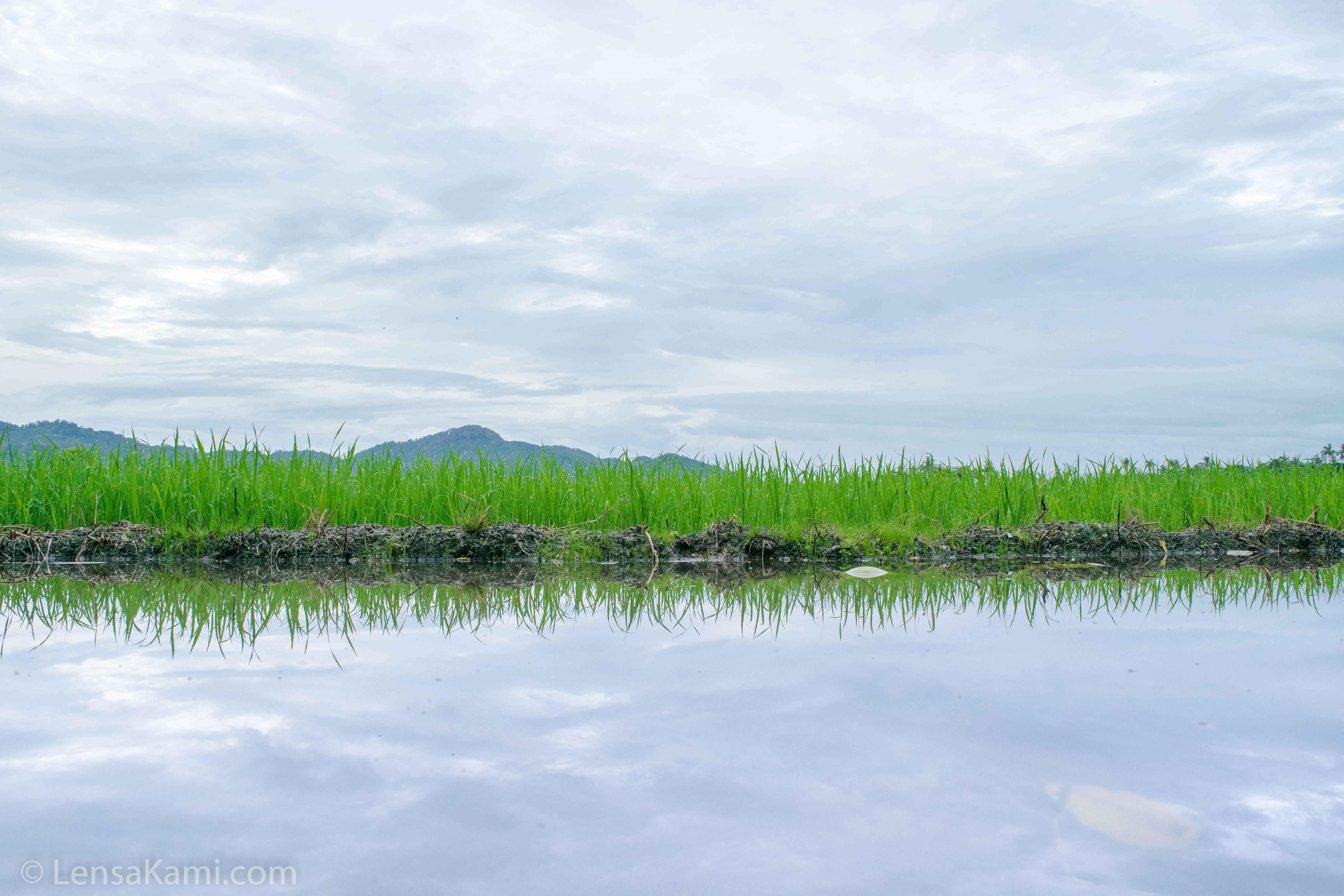 Sawah padi di Balik Pulau