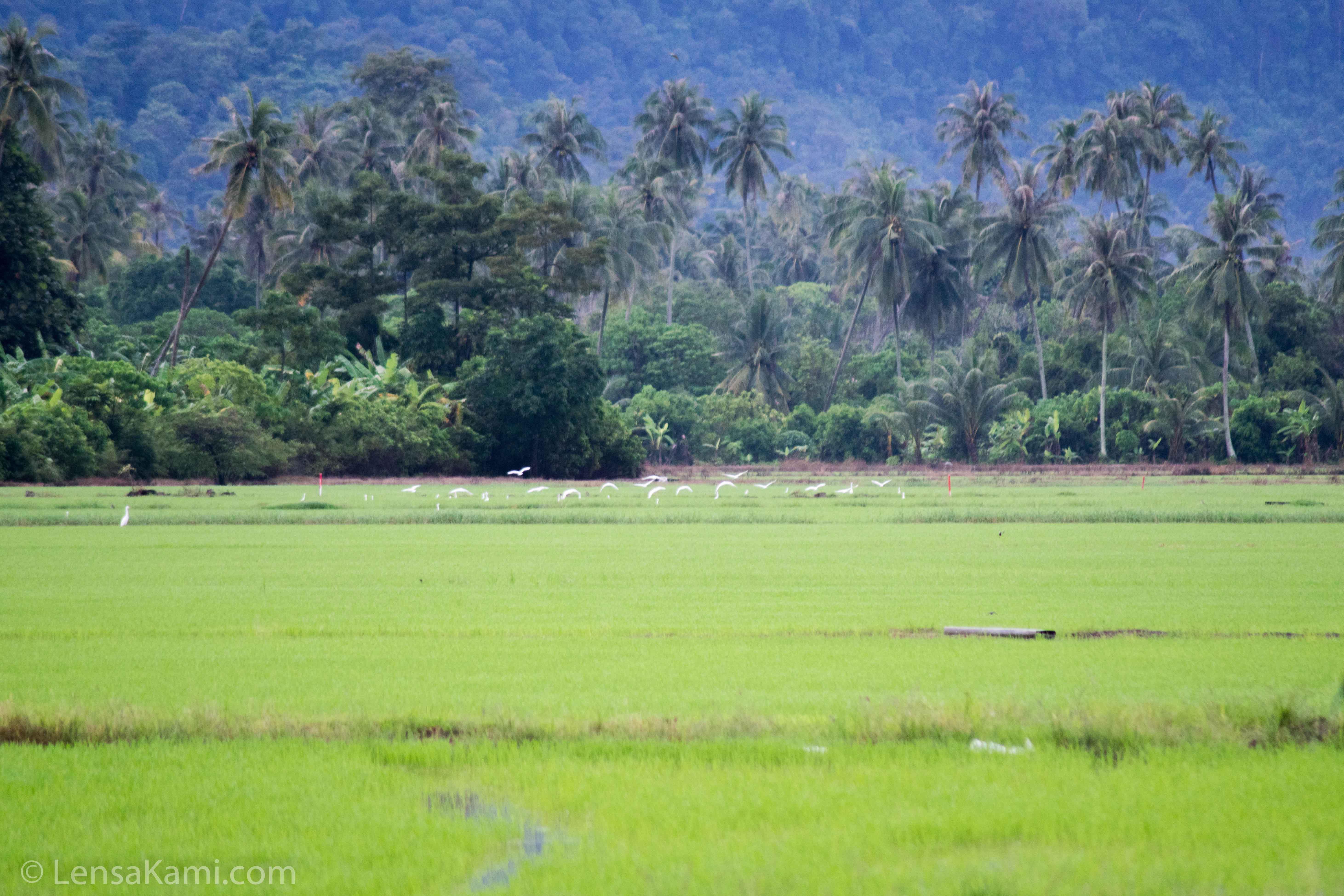 Kelihatan sekawan burung berterbangan di kawasan sawah padi