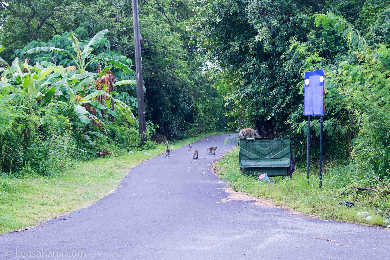 Monyet liar di kawasan kampung di Balik Pulau